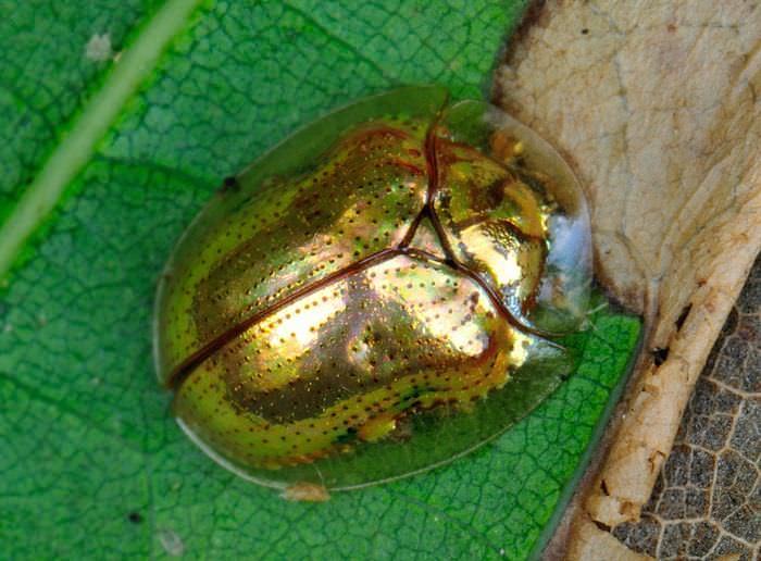 besouro-joia, animais mutantes que mudam de cor