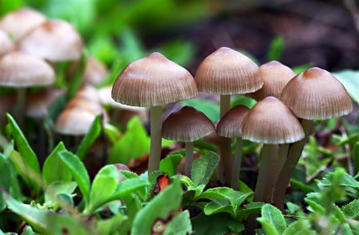 O cogumelo é eficaz contra o colesterol