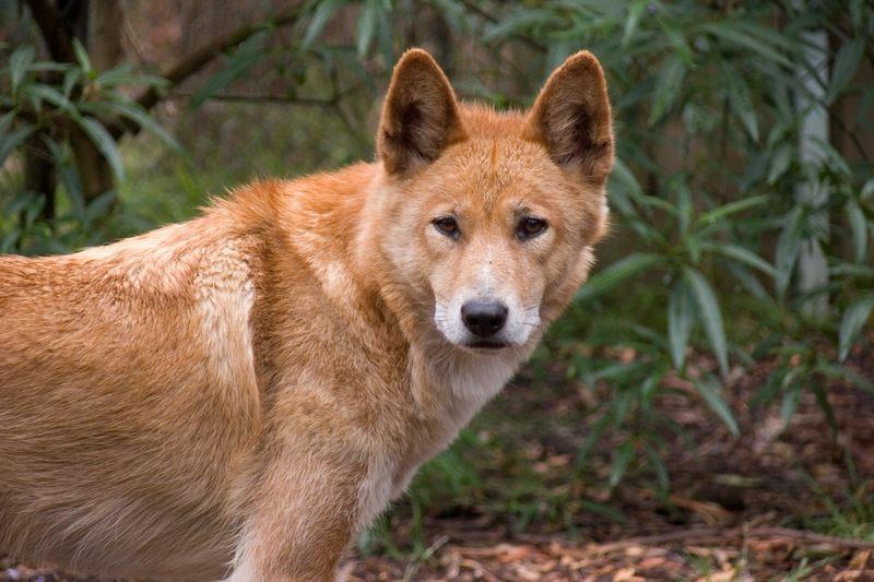 Dingo australiano, só existe na Austrália
