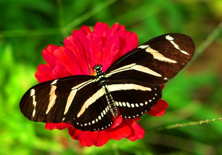 Borboleta-zebra, uma das mais lindas do mundo