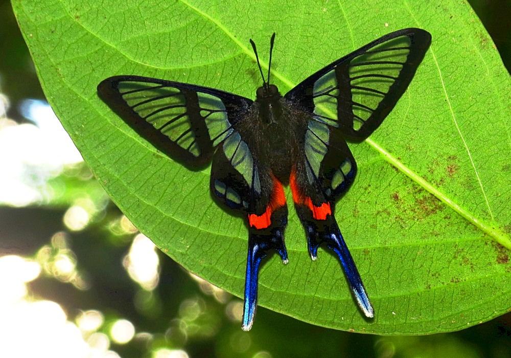 Sylphina Angel, borboleta de asas transparentes