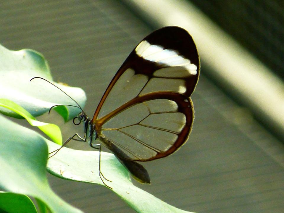 greta oto, borboleta de asas transparents
