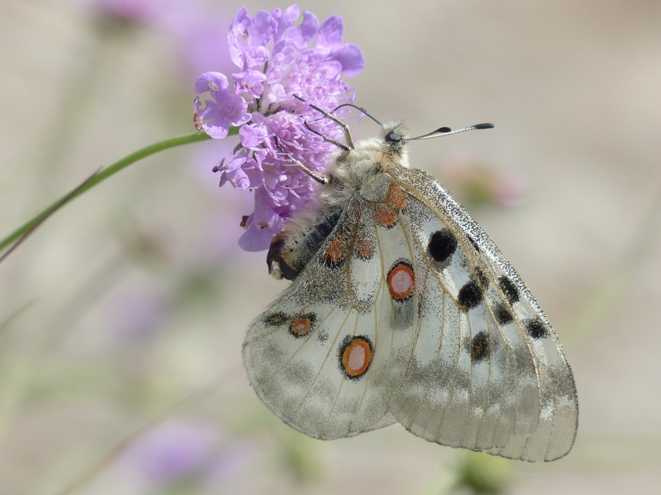 borboleta apollo