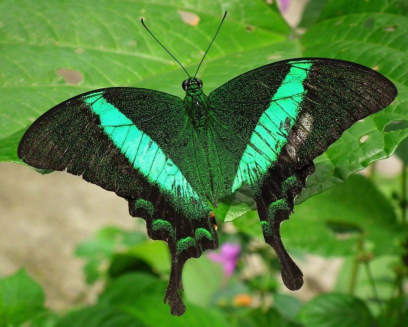 A linda borboleta-esmeralda