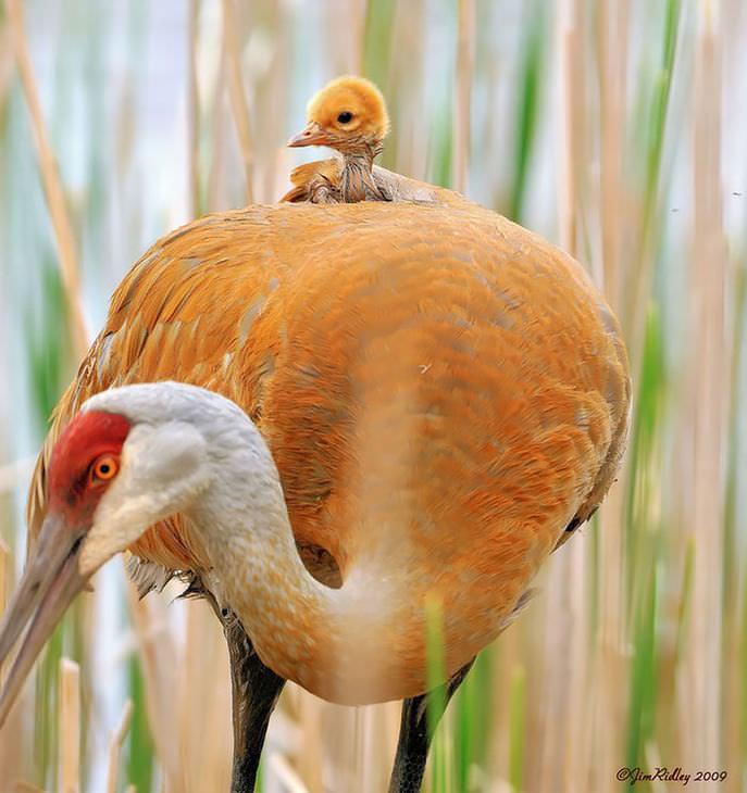 Mamães-pássaro cuidando de seus filhotes