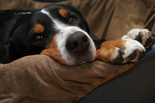 cão, cachorro