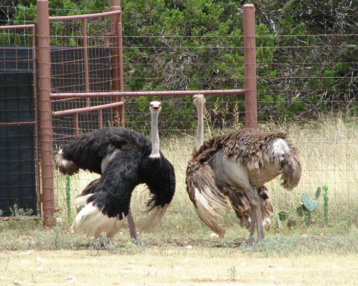 avestruzes