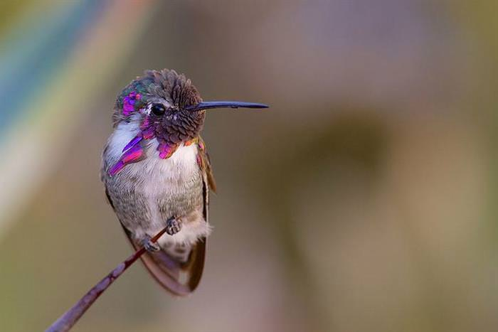 beija-flor, ave, colibri