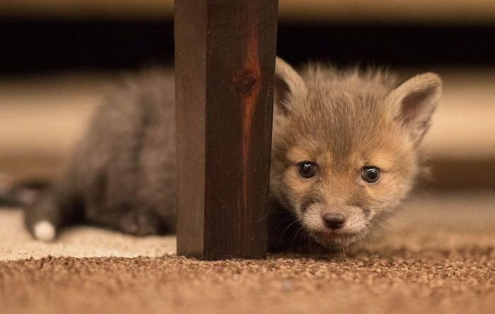 raposa, cão