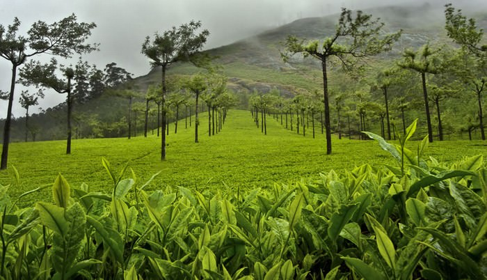 chá, plantações