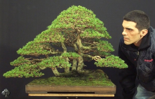 bonsai, arte, árvore