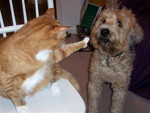 gatos, cães