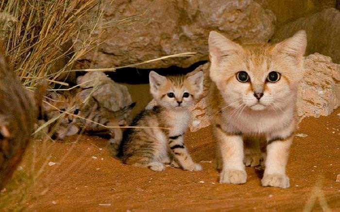 gatos do deserto