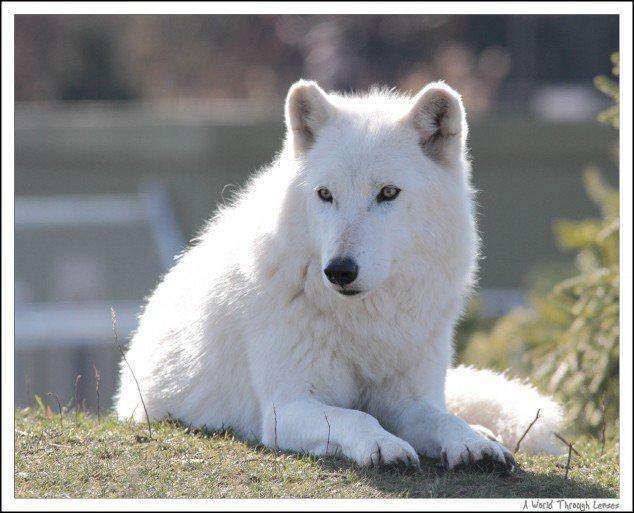 Animais Brancos