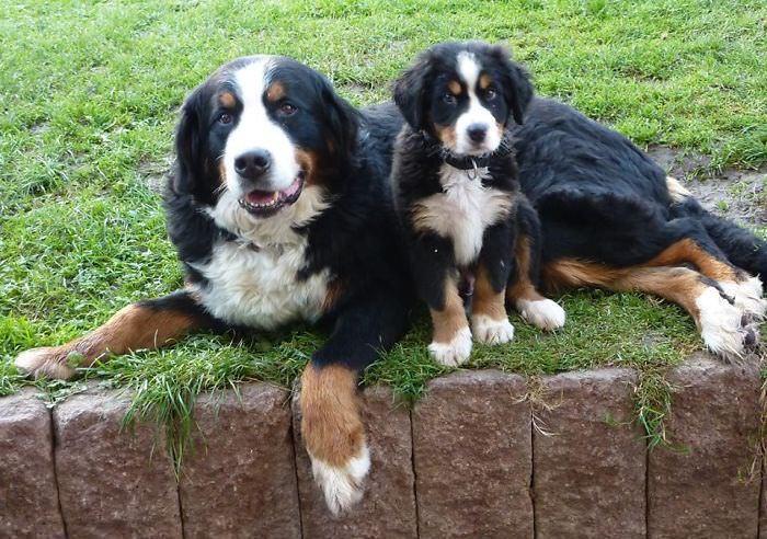 cães, filhotes