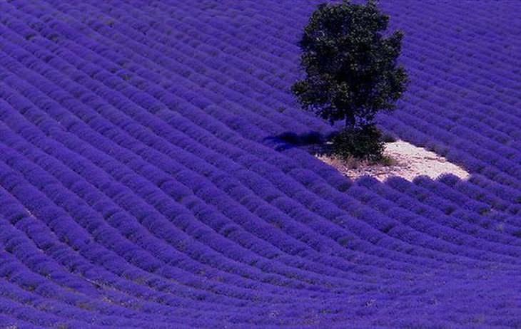 Os campos floridos mais lindos do mundo