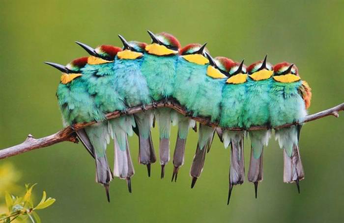 Fotos de pássaros dormindo juntos