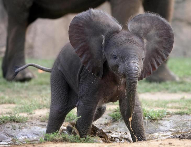 Estes elefantes adoráveis são os Giants os mais amigáveis da natureza