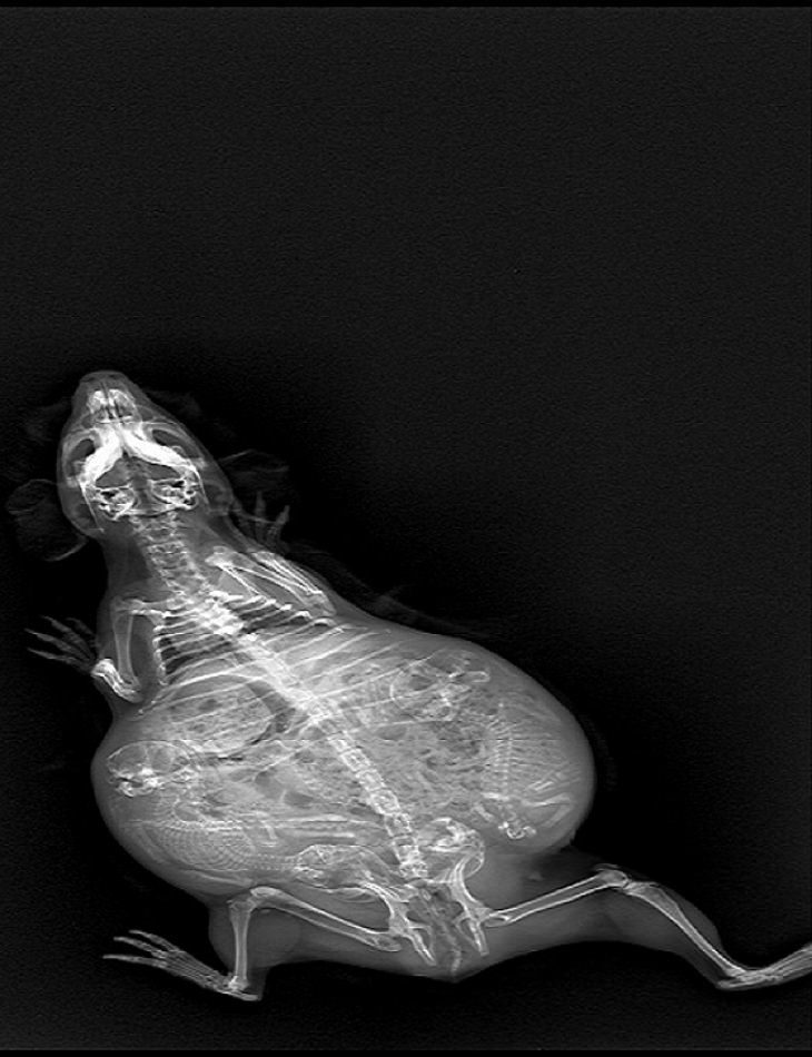 Essas fotos de raios-X de animais grávidos vão te intrigar