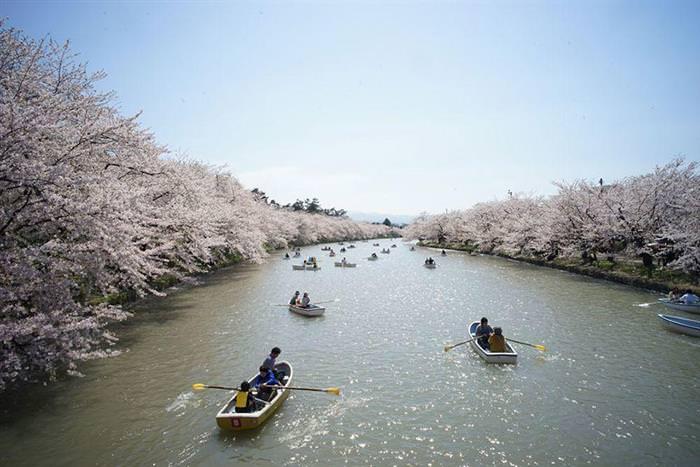 Cerejeiras do Japão