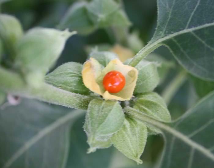 ervas para acabar com insônia