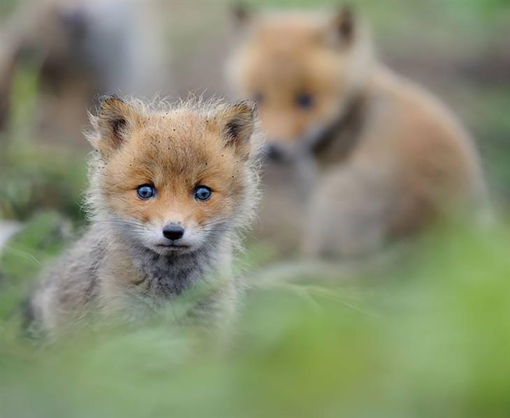 bebês raposa