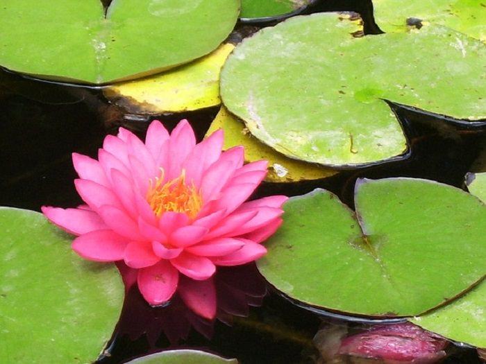 a beleza da flor de lótus