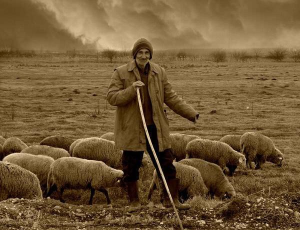 piada de advogado ovelha