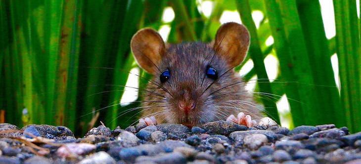 matar rato