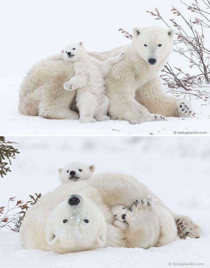 25 lindos ursos e seus filhotes