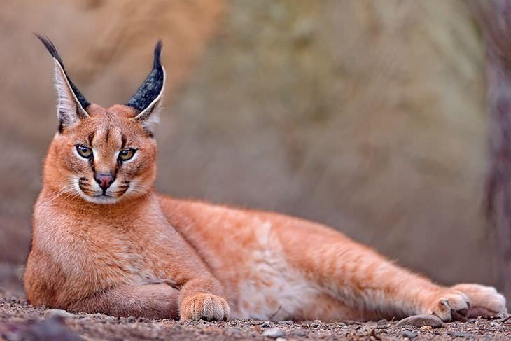 gatos selvagens raros