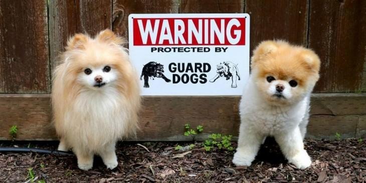 Alerta de fofura: Cães de guarda que você não tem medo