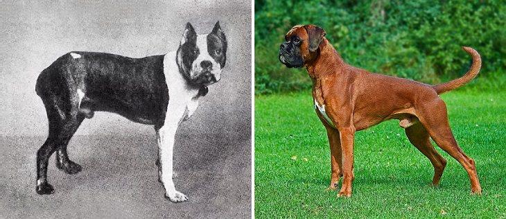 a mudança física dos cachorros em 100 anos