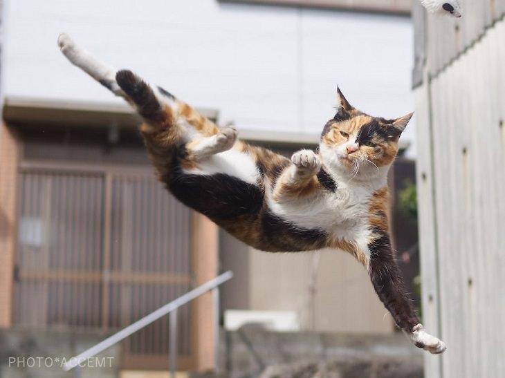 gatos ninja
