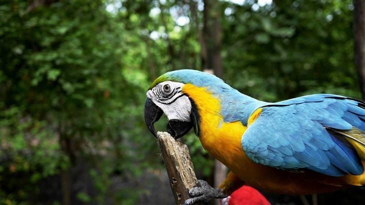 o papagaio do rei