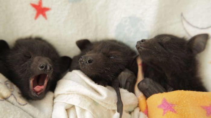 filhotes de morcego fofos