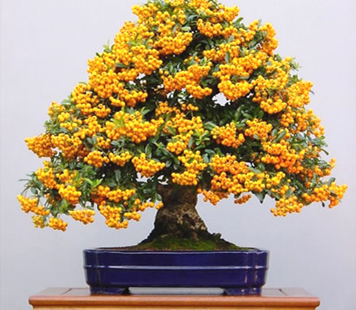 Árvores de frutos bonsai