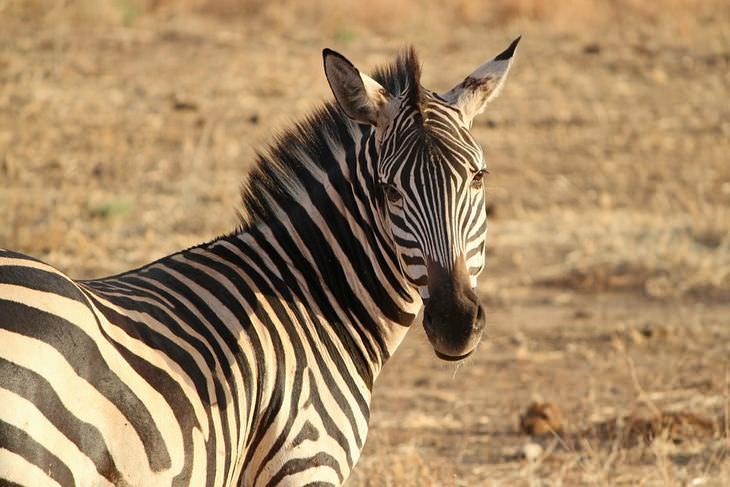 piada da zebrinha curiosa e o cavalo