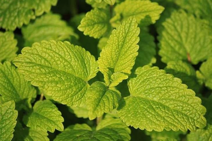 10 ervas que beneficiam a glândula tireóide