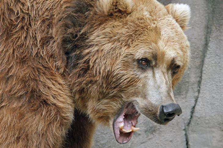 Piada hilária: Os alpinistas e o urso