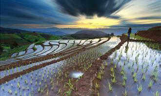 campos de arroz no Japão