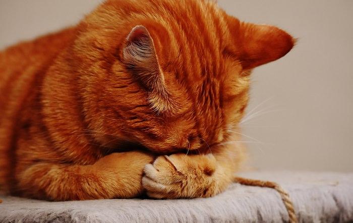 óleos essenciais podem fazer mal para gatos