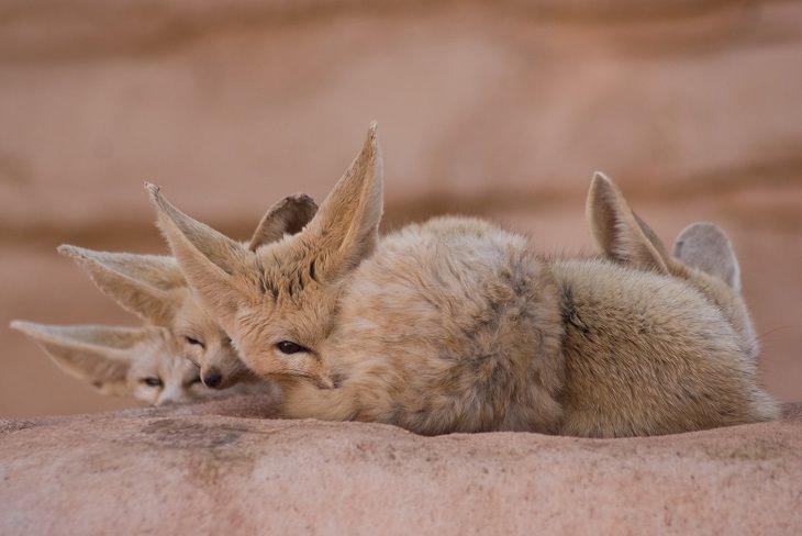 raposa-do-deserto