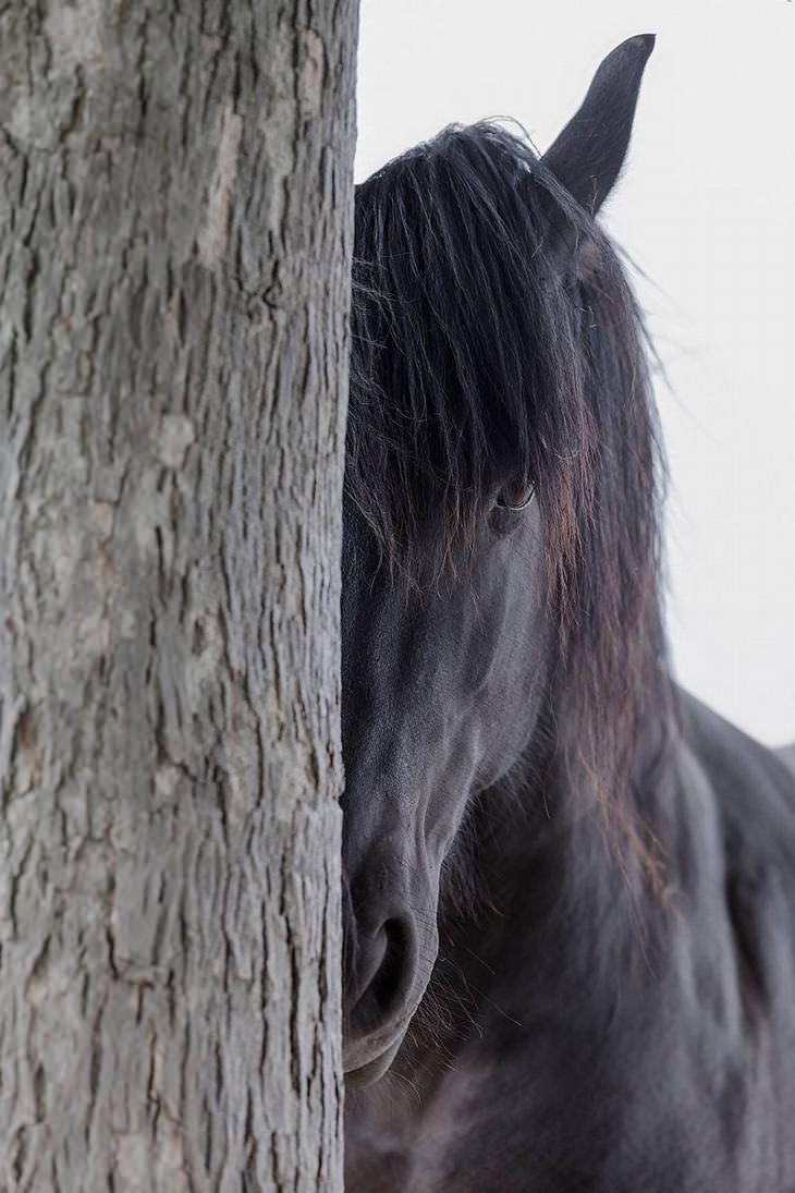 cvalos frísio