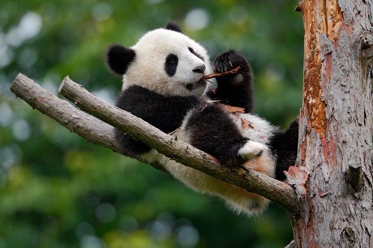 30 Fatos interessantes sobre os pandas