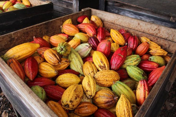 como é feito o chocolate, da colheita ao produto final