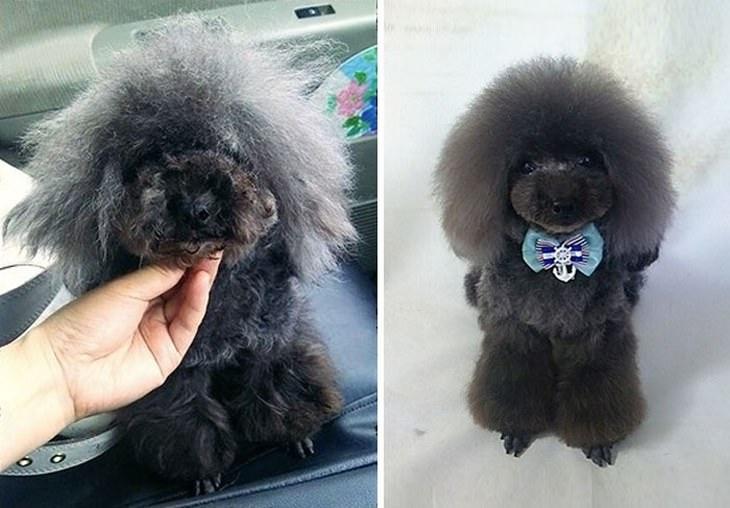 cães groomer