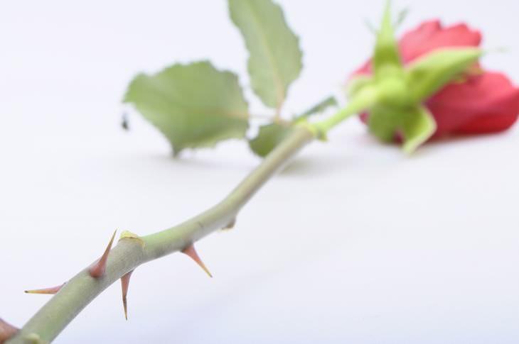 parábola da rosa