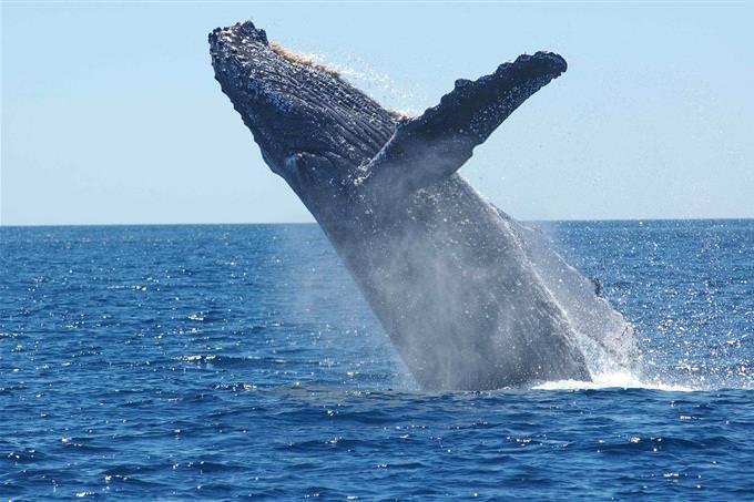 baleia saltando da água