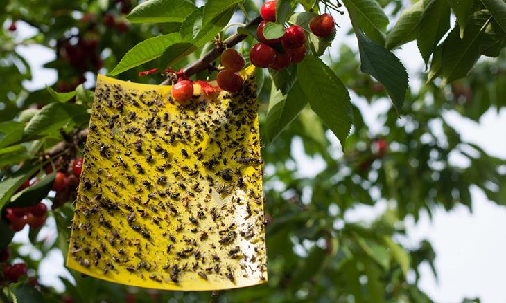 mosquito de fruta